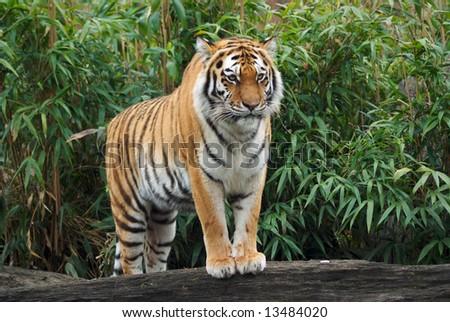 Close up of Amur Tiger (Panthera tigris altaica)