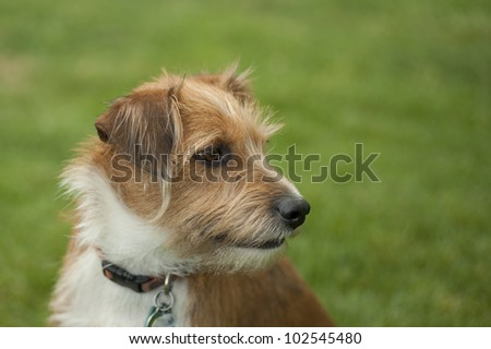 Close up of an adopted terrier mix pup sitting in the grass looking to the right