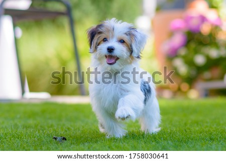 Close up of an adorable, happy puppy caught in motion while running on vibrant green grass in summer. Сток-фото ©