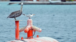 Close up of an adult brown American pelican perched with a royal tern gull friend on a bright orange ship mooring barrel floating in rippling blue Caribbean sea water Room for text and copy space.