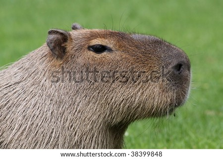 close-up of an adult capybara