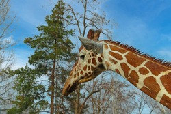 Close-up of an adult giraffe against a background of blue sky and treetops