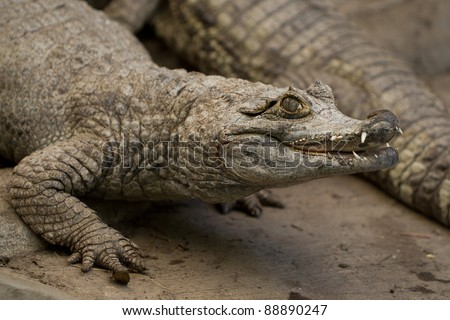 CLOSE UP OF AN ADULT MALE SPECTACLED CAIMAN