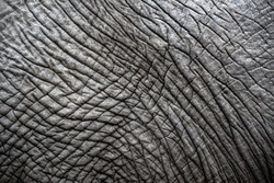 Close up of an African elephants Skin texture - Greater Kruger National Park - South Africa