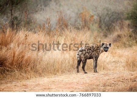 Close up of an African Hyena. Camouflaged Predator Hunting and scavenging prey on the Savannah. Conservation of endangered animals. Protected species of Africa. Safari Holiday. Dangerous Animal