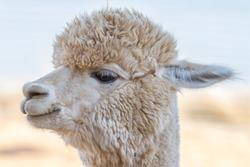 Close up of an alpaca