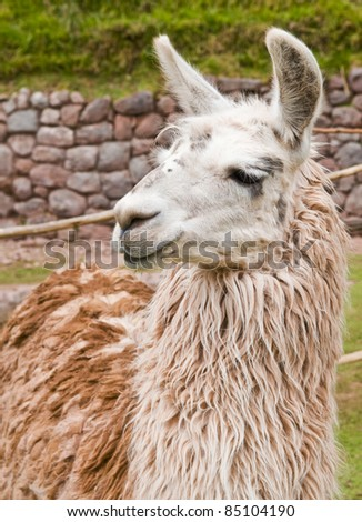 Close up of an alpaca's face
