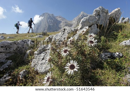 Close up of an alpine plant with the background of two hikers on a trail in the mountains