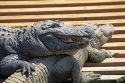 Close up of an american alligator resting on another gator, with a smiling open mouth full of teeth and thick tongue, and holding on with a sharply clawed right foot, in Florida, USA