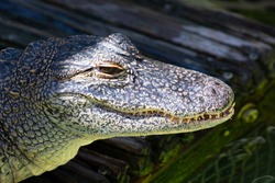 Close up of an american alligator's head showing an eye, nasal area, a full set of teeth, and mottled, wrinkled, reptilian skin, in Florida, USA