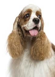 Close-up of an American Cocker Spaniel, looking away, isolated on white