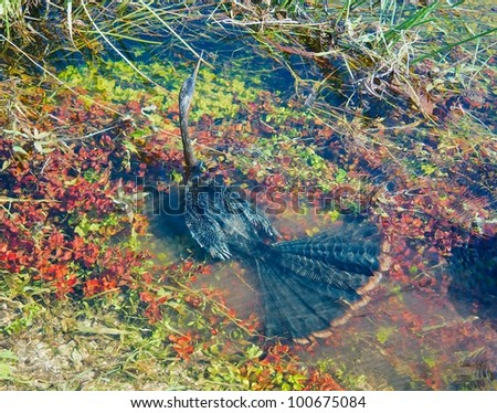 Close up of an Anhinga (Anhinga anhinga) swimming under water trying to catch a prey