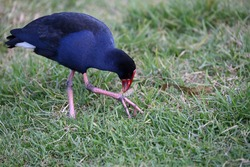 Close up of an Australasian swamphen, also known as a pukeko, bending down to look at grass held in its talon.