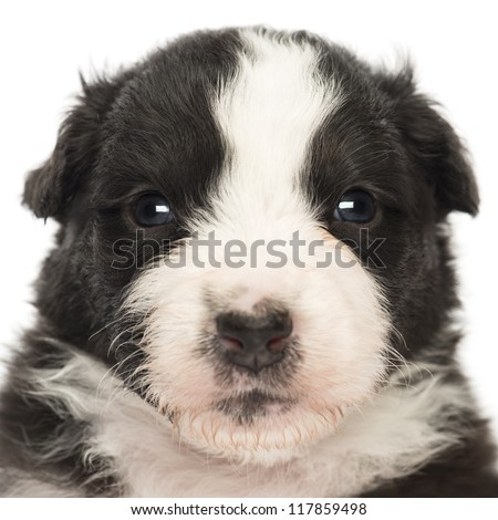 Close-up of an Australian Shepherd puppy, 22 days old, portrait against white background
