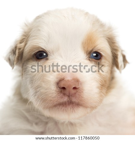 Close-up of an Australian Shepherd puppy, 22 days old, portrait against white background - stock photo