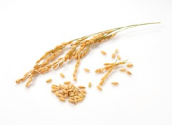 Close-up of an ear of rice on a white background