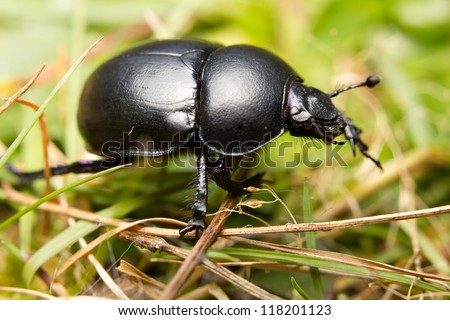 Close-up of an earth-boring dung beetle (Geotrupidae) on the forest floor