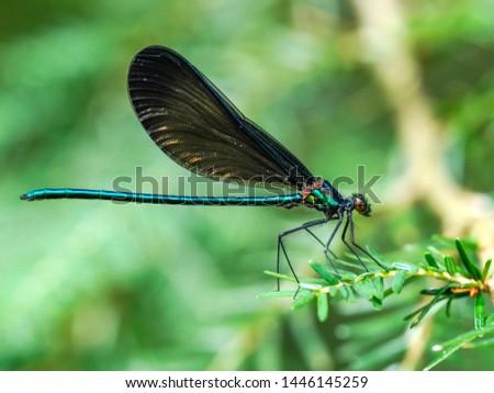 Close up of an ebony jewel wing damselfly on a hemlock branch