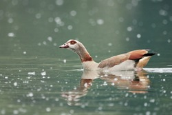 Close-up of an Egyptian goose or Nile goose (Alopochen aegyptiaca) swimming in a pollen-covered lake in Germany, Europe. It's a water bird of the duck, goose, and swan family Anatidae