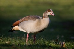 Close-up of an Egyptian goose which is standing in a meadow