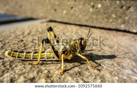 Close-up of an Egyptian Locust (Anacridium aegyptium) sitting on a stone.