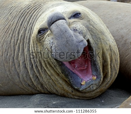 Close-up of an elephant seal on a beach, Australia