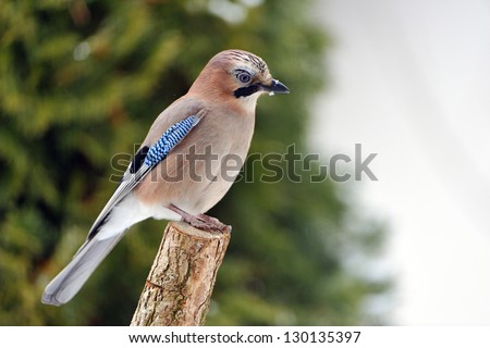Close-up of an Eurasian Jay (Garrulus glandarius) on a  tree in winter