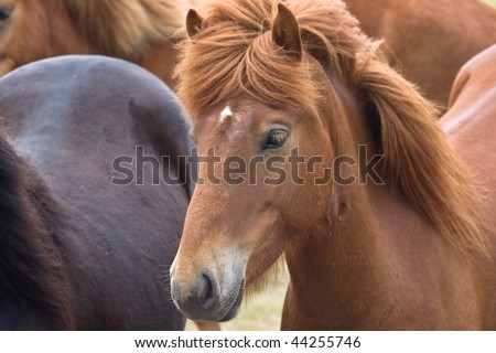 Close up of an icelandic horse among other horses