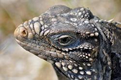 close-up of an iguana a tropical reptilian