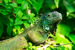 Close up of an iguana, in Nice, at Parc Phoenix