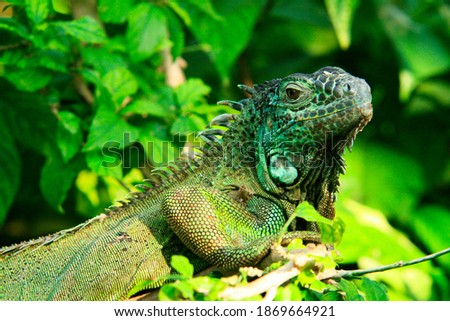 Close up of an iguana, in Nice, at Parc Phoenix Photo stock ©