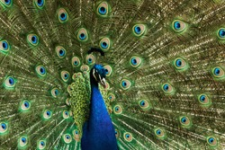 Close-up of an Indian blue peafowl or peacock, Pavo cristatus. Magnificent male bird displaying its colorful plumage, beautiful eyespots and green spread feathers.