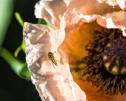 Close-up of an insect sitting on an orange poppy flower