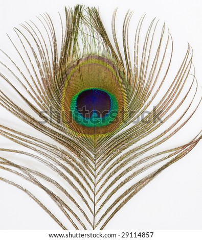Close up of an iridescent peacock feather