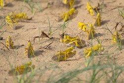 Close-up of an Migratory locust swarm sitting on desert.Locusts are related to grasshoppers