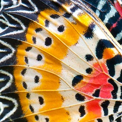 close-up of an Monarch Butterfly Wing