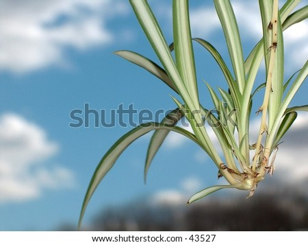 Close up of an offshoot from a Spider Plant.