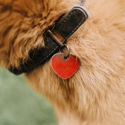 close up of an old dog collar with id tag on a red dog