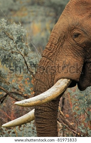Close up of an old elephant bull feeding in an African national park