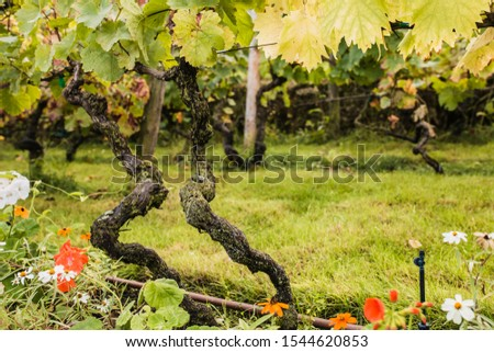 Close-up of an old twisted vine vine in a vineyard #1544620853
