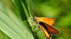 Close-up of an orange and brown skipper butterfly resting on a blade of grass with a green blurred background