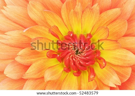 Close-up of an orange and red dahlia showing its textures, patterns and details