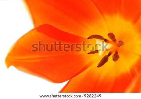 close up of an orange tulip on a white background.