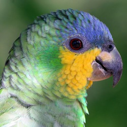close up of an Orange-winged Parrot (Amazona amazonica) on a blurred green background. Entre Rios, Bahia; Brazil