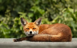 Close up of an urban red fox sleeping on the roof of a shed, UK.