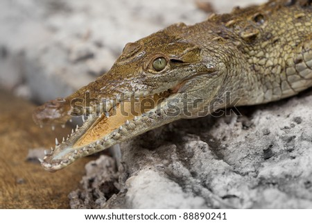 CLOSE UP OF AN YOUNG YACARE CAIMAN HEATING IN THE SUN