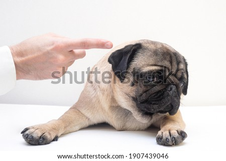 Close-up of angry man hand wagging a finger and scolding her pug dog, punish a dog Stock photo ©