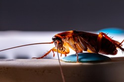 Close-up of animal red cockroach at night