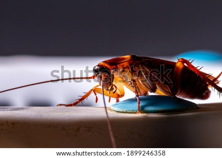 Close-up of animal red cockroach at night Foto d'archivio ©
