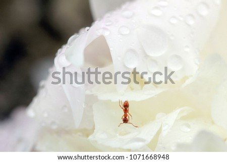 Close up of ant drinking on a water drop in the garden #1071668948